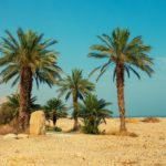 Palm trees in desert, Ein Gedi, Israel